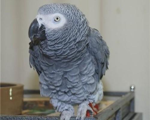 il pappagallo dominante