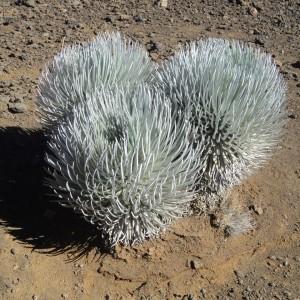 Figura 5. Maui. I cespugli (bellissimi) che popolano il fondo del cratere.
