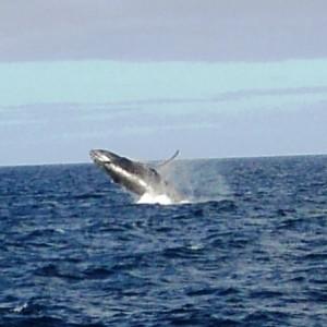 """Figura 7. Maui. Uno splendido """"bridge"""" di una balena ripreso dalla costa. Un colpo di fortuna per la macchina fotografica, ma la normalità per chi guarda l'Oceano anche solo per pochi minuti."""