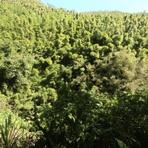 Figura 11. Maui. Una foresta di bambù vista da fuori.