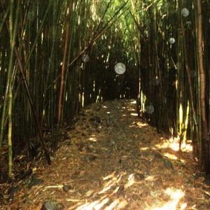 """Figura 12. Maui. La stessa foresta """"da dentro""""."""