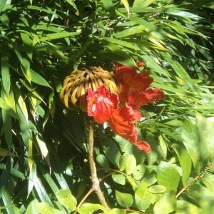"""Figura 14. Maui. Uno dei tanti fiori """"invernali"""" che rallegrano le escursioni."""