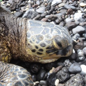 Figura 18. Maui. In realtà, fa solo finta di dormire…