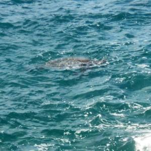 Figura 22. Maui. Una tartaruga verde sta per uscire allo scoperto.