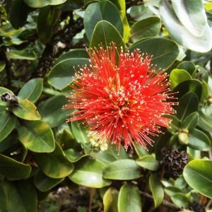 Figura 25. Kauai. Un altro fiore che allieta l'escursione precedente.