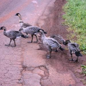 Figura 26. Kauai. Alcune Nené attraversano tranquillamente la strada. Piccole oche, severamente protette, sono originarie delle Hawaii.