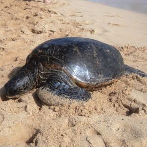 Figura 29. Kauai.  Un'altra dormigliona verde, appena uscita dall'acqua.