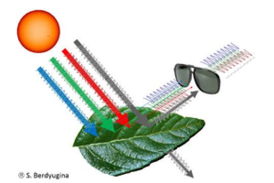 La luce riflessa e polarizzata dalle foglie contiene un chiaro segnale dei suoi biopigmenti. Questo segnale può essere rilevato attraverso un filtro polarizzante, come, molto semplicemente, un paio di occhiali da sole. Fonte: Svetlana Berdyugina