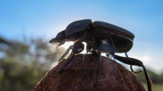 Un buffo scarafaggio che si muove su una palla di sterco. Che strani gli insetti con le loro azioni ridicole e assurde! No, no, aspettate… lui, un Carabaeus lamarcki, sta fotografando il firmamento per crearsi una precisa mappa mentale e muoversi senza GPS. Fonte: Basil el Jundi / Lund University
