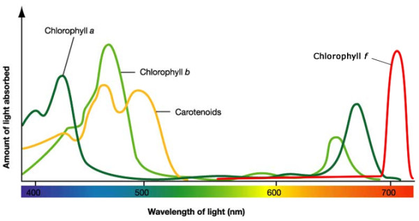 Spettro di assorbimento dei pigmenti. Assorbendo l'energia luminosa, questa entra in circolo nella catena alimentare