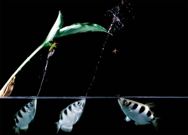 """I pesci arciere nella loro occupazione principale che svolgono avvalendosi di un vero """"strumento"""". Tuttavia, attenzione a infastidirli… potrebbero ricordarsi di voi! Fonte di A&J Visage, Alamy"""