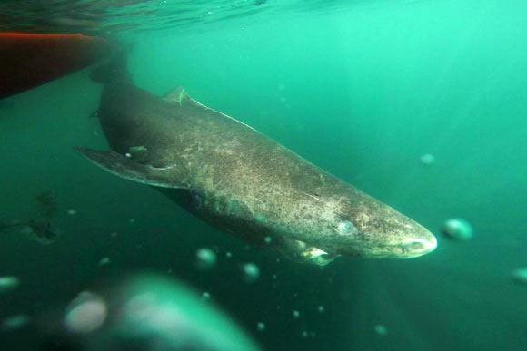 Lo squalo della Groenlandia può raggiungere i 5 metri di lunghezza e superare i 400 anni di età. Fonte: Julius Nielsen