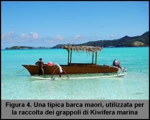 barca-maori