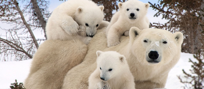 PIC FROM THOMAS KOKTA / CATERS NEWS (Pictured: POLAR BEAR WITH TRIPLETS) - A lucky photographer has managed to photograph these adorable images that of the playful first moments in the lives of young polar bear cubs. It is believed less than 500 people have been lucky enough to witness baby polar bears when they emerge from their dens in the wild. But wildlife snapper Thomas Kokta, from Issaquah in Washington, USA, has been shooting polar bear families for the past few years carefully learning their first moves. Thomas, who travels to Manitoba, Canada, to locate these families, has witnessed not only the cuteness of baby polar bears firsthand, but also the extremely rare phenomenon of a mother bear that has given birth to surviving triplets. SEE CATERS COPY