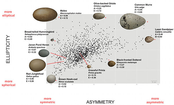 L'ellitticità e l'asimmetria delle uova di circa 1400 specie di uccelli sono state plottate in modo da evidenziare le variazioni in funzione del tipo di volatile. Fonte: L. Mahadevan/Museum of Vertebrate Zoology, Berkeley