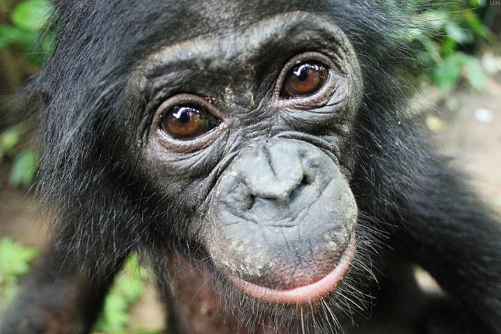 I bonobo condividono con noi il 99% del loro DNA. Forse è proprio l'1% di differenza che li fa creature socievoli e altruiste. Fonte: Lola ya Bonobo Sanctuary