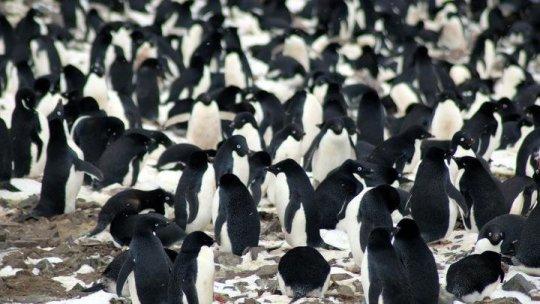 Ricercatori poco inclini alle regole del GW hanno scoperto 751527 coppie di pinguini di Adelia (più di quelli che abitano il resto dell'Antartide) nelle Danger Islands (Isole del Pericolo). Essi includono la terza e la quarta più grande colonia di pinguini di Adelia del mondo. Fonte: Michael Polito, © Louisiana State University