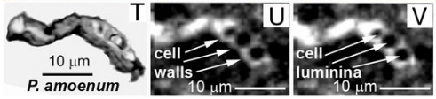 Fig. 4 Ricostruzione 3D (riquadro T) di uno dei microfossili e due sezioni tomografiche (riquadri U e V) che mostrano i vuoti e le pareti cellulari (estratto da Schopf, W. et al., 2018)2