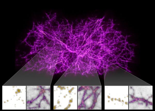 """Questo intrico di filamenti è la ricostruzione del """"web comico"""" creata sulla base della posizione e massa di 37 000 galassie, utilizzando un algoritmo basato sulla crescita della melma policefala. Una sovrapposizione mostruosamente perfetta, come si può vedere nei riquadri sottostanti, dove da un lato vi sono le galassie e dall'altro le stesse come vengono raggiunte lasciando libere di agire il nostro amico melmoso Fonte: Burchett et al., ApJL, 2020)"""